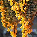 Golden Grapes by Elaine Plesser