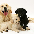 Golden Retriever And Puppies by Jane Burton