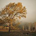 Golden Sunlit Tree With Mist, Yakima by Sisse Brimberg
