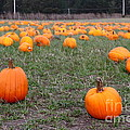 Halloween Pumpkin Patch 7d8383 by Wingsdomain Art and Photography
