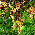 Hanging Grapes On The Vine by Elaine Plesser