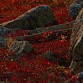 Huckleberry Bushes And Multi-hued by Michael Melford