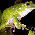 Japanese Rhacophoprid Frog by Dante Fenolio