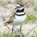 Klassic Killdeer by Lynda Dawson-Youngclaus