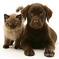 Labrador Pup And Birman-cross Kitten by Jane Burton