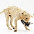 Labrador X Golden Retriever Puppy by Jane Burton