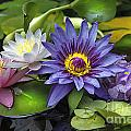 Lilies No. 16 by Anne Klar