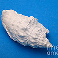 Lime Made From A Seashell by Ted Kinsman