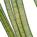 Lm Of Tubular Algae by Raul Gonzalez Perez