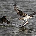 Osprey On The Run by Paul Marto