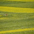 People In A Rapeseed Field by David Evans