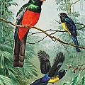 Perched And Flying Trogons Are Seen by Walter A. Weber