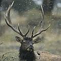 Portrait Of An Elk Or Wapiti by Norbert Rosing
