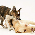 Pup Biting Lab On The Ear by Mark Taylor