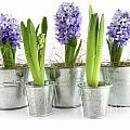 Purple Hyacinths by Sandra Cunningham