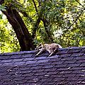 Resting Raccoon by Yelena Rubin