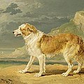 Rough-coated Collie by James Ward