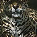 Shadows Flicker Over A Jaguar Panthera by Hope Ryden