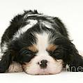 Sleeping Puppy by Jane Burton