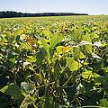 Soybeans Sprout In A Large Eastern by Stephen St. John