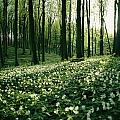 Spring Forest View With Anemones, Rugen by Sisse Brimberg