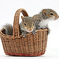 Squirrels In A Basket by Mark Taylor