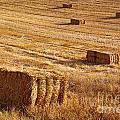 Straw Field by Carlos Caetano