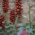 Strings Of Tomatoes Dry On A Wall by Tino Soriano
