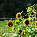 Sunflower Patch by Debra     Vatalaro