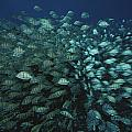 Surgeonfish  Slice Through The Coral by Randy Olson