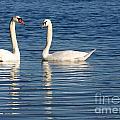 Swan Mates by Sabrina L Ryan