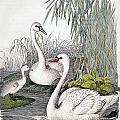Swans, C1850 by Granger
