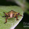 Terrestrial Turtle Bug by Ted Kinsman