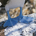 The Feet Of A Blue Footed Booby Bird by Gina Martin