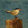The Tern by Ernie Echols