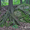 Tree Growing Over A Rock by Ted Kinsman