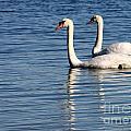 Two Beautiful Swans by Sabrina L Ryan