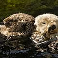 Two Captive Sea Otters Floating Back by Tim Laman