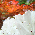 White Rhododendron Flowers Autumn Floral Prints by Baslee Troutman