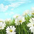 White Summer Daisies In Tall Grass by Sandra Cunningham