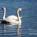 Wild Swans by Sabrina L Ryan