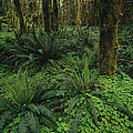 Woodland Rain Forest View With Mosses by Melissa Farlow