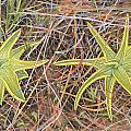 Yellow Butterwort In Habitat by Scott Bennett