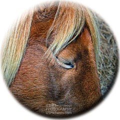 Assateague Pony Photography - Fine Artist