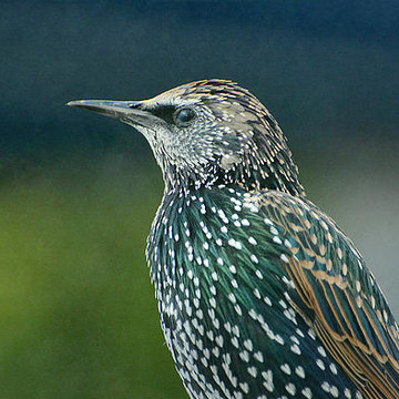Starlings Collection
