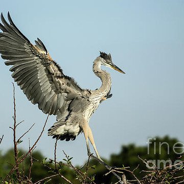 Glorious Great Blue Herons Collection