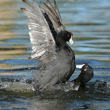American Coot Collection