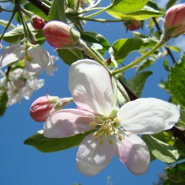 APPLE BLOSSOMS Art Prints Spring Collection