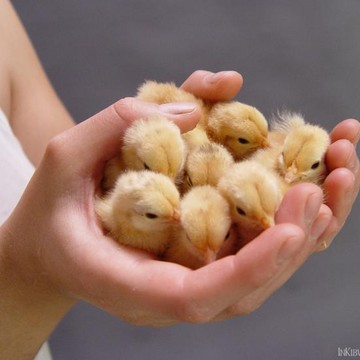 Chicks ducklings and other assorted domestic animals Collection