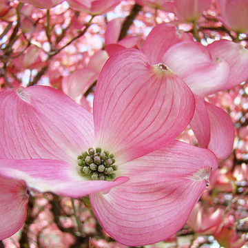 DOGWOOD TREE FLOWERS ART PRINTS Baslee Troutman SPRING Dogwood TREE  BLOSSOMS PINK WHITE Blue Sky Landscapes Art Macro Collection